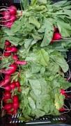 IMG_20180905_170416308-radishes